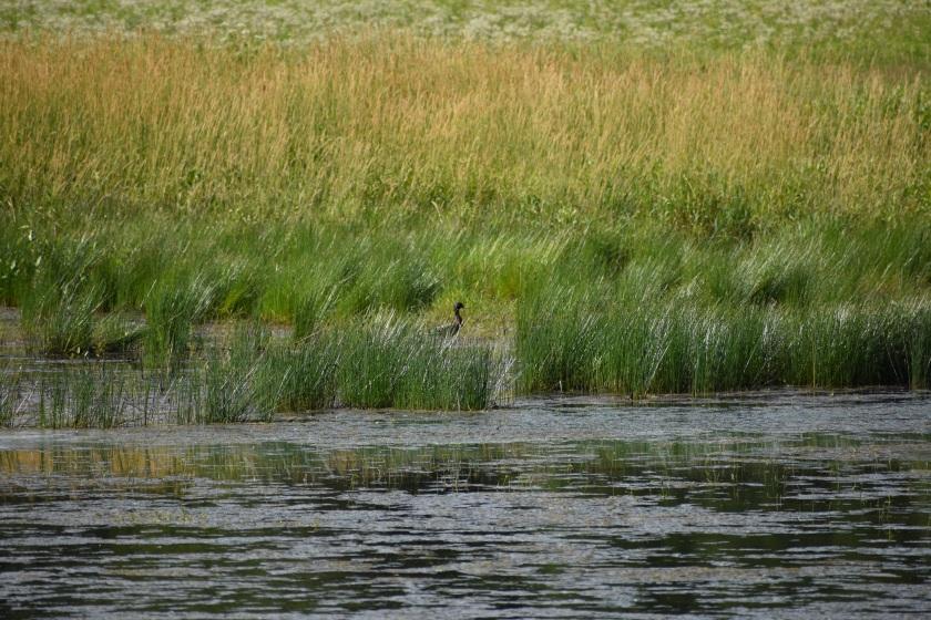 hidden_duck
