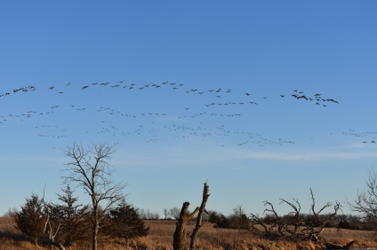 Several flocks of geese (at least 100 individuals) flew over, honking loudly