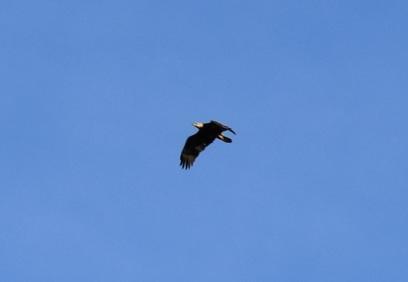 Bald Eagles will investigate open water wetlands in winter