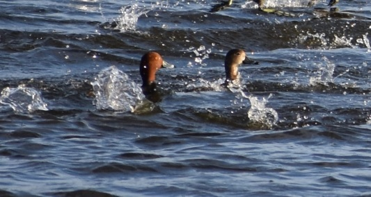 Redheads (Aythya americana) being splashed by other birds