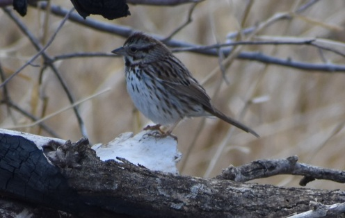 Song Sparrow. No chest spot.