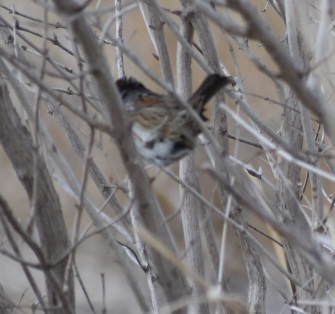 Swamp Sparrow--note reddish patch