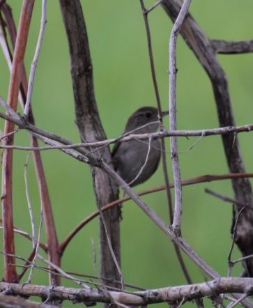 Hiding in the vegetation, but pretty sure that's a wren!
