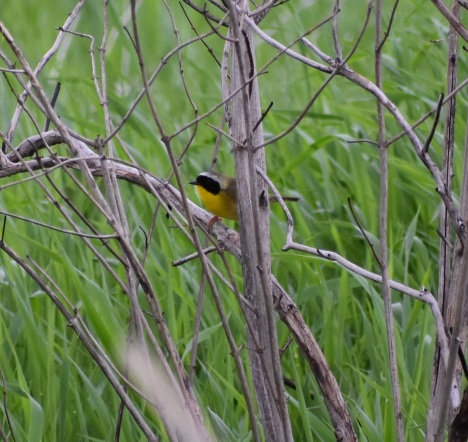 It's a warbler...AND a wetland bird! Common Yellowthroat.